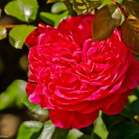 Красная роза. :: Виктор Евстратов