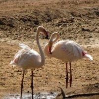 Розовый фламинго :: Николай