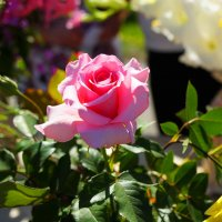 Розовая роза :: Николай Терентьев