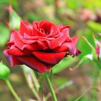 Rose :: nikolas lang