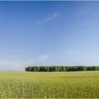 Поля пшеничные, поля сибирские.. :: Татьяна Степанова