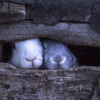 Кролики :: Ирина Байбулатова