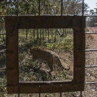 """Тигр """"за бортом"""" :: Минихан Сафин"""