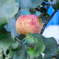 Наливное яблочко :: Кристина Шестакова