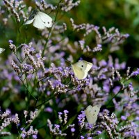Кермек многолетний и бабочки :: Елена Ахромеева
