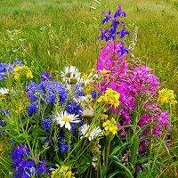 Любимые полевые цветы :: Валентина Пирогова