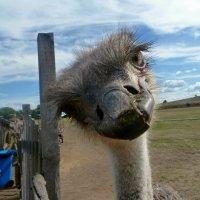 Любопытный страус. :: Чария Зоя