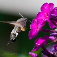 Бабочка-колибри :: Марина Напылова