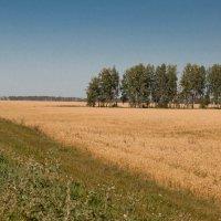Пшеничное поле :: Марина Напылова