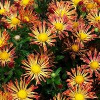 Осенние цветы Фото №3 :: Владимир Бровко