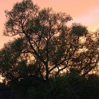 Ива на закате :: Татьяна Нижаде