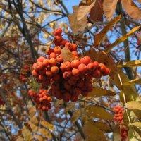 Осенние ягоды :: Николай Филоненко
