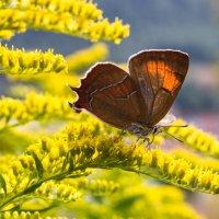 Бабочка на цветке :: Елена Лобанова