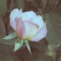 Роза :: Лика Кулиш