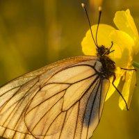 Бабочка  на закате :: Иван Клещин