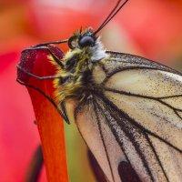 Бабочка на лилии :: Иван Клещин
