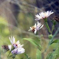 Полевые цветы :: Мария Комарова