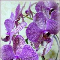 Орхидея. :: Люда Валяшки