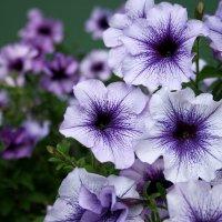 Цветики на  казонах... :: Валерия  Полещикова