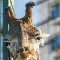 Грустный жираф :: Игорь Кузьмин