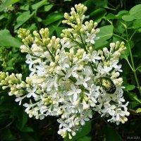 Сочетание зеленого и белого :: Лидия (naum.lidiya)