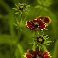 Цветы :: Владимир Голушко
