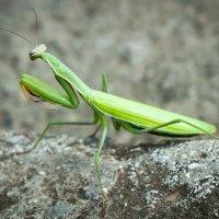 Mantis religiosa :: Сергей Гурин