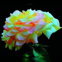 Розы по фото Геннадия Александровича 2 :: Владимир Хатмулин