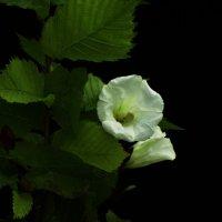 цветок :: Михаил Жуковский