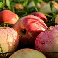 Падают яблоки :: Татьяна Ломтева