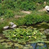 Белый аист на пруду :: Татьяна Кретова