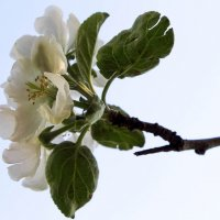 Цветение яблони. :: Любовь Анищенко