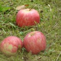 Осенние яблоки. :: Olga Grushko