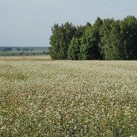 Виды на урожай 2014. Гречиха #4 :: Виктор Четошников