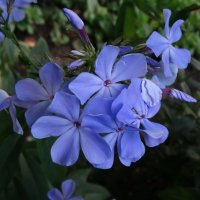 Голубой флокс :: Svetlana27