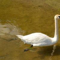 Лебедь :: demyanikita