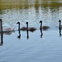 Лебединая семья :: demyanikita