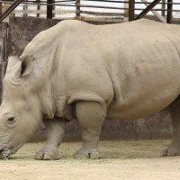 носорог :: сергей пейкер