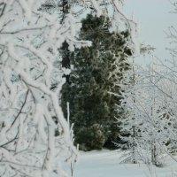 Зимой и летом одним цветом :: Сергей Лызов