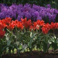 Красные тюльпаны (цветение 2014) :: Евгений Лимонтов