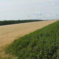 пшеничное поле и подсолнечник :: Владимир