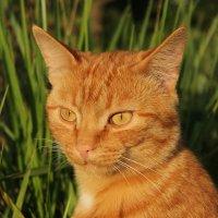 портрет рыжего кота :: Марти Дерио