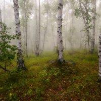 Утро в березовом лесу :: Сергей Брагин