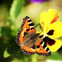 Две бабочки :: GALINA