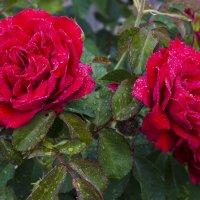 Утренняя роса на красной розе :: Александр Синчуков