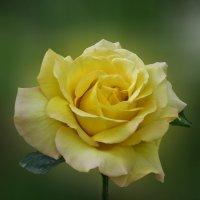 Дарите желтые цветы! :: Наталья Джикидзе (Берёзина)