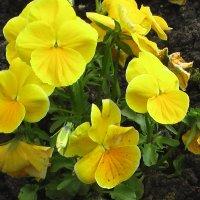 Солнечные   цветы :: Valentina Lujbimova [lotos 5]