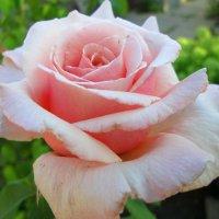 Розовая роза... :: Тамара (st.tamara)