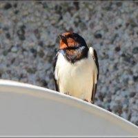 деревенская :: linnud
