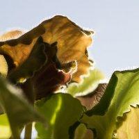 Листья фиалки... :: Caba Nova
